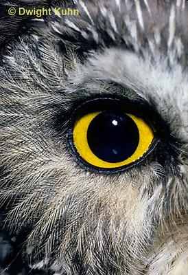 OW11-022z  Saw-whet owl - close up of eye - Aegolius acadicus
