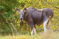 Eurasian elk, Alces alces, adult female, Biebrza National Park, northeastern Poland