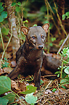 The short-eared dog, roams the forest floors of the Tambopata River region of Peru.