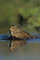 Lincoln's Sparrow, Melospiza lincolnii, adult bathing, Willacy County, Rio Grande Valley, Texas, USA