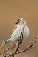 Adult male Hoary Redpoll (Carduelis hornemanni). Seward Peninsula, Alaska. May.