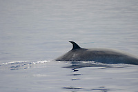 Bryde's whale, Balaenoptera edeni, Azores Island, Portugal, North Atlantic