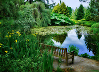 Bench at pond with yellow iris. VanDusen Botanical Garden. Vancouver, BC