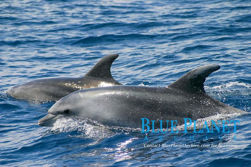 bottlenose dolphins, Tursiops truncatus, Azores Islands, Portugal, North Atlantic