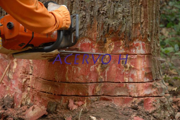 Corte de Maçaranduba.<br /> Área de manejo sustentável para exploração madeireira da Cikel.<br /> Paragominas, Pará, Brasil<br /> Foto Paulo Santos/Interfoto<br /> 17/11/2008