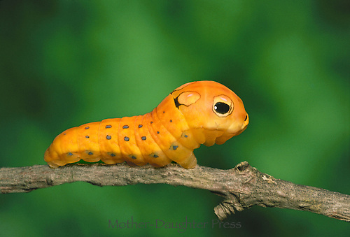 Caterpillar of Spicebush swallow tail butterfly Papilio troilus, with false eye spots Misssouri USA
