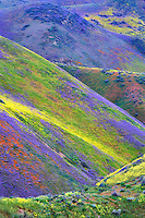 Hilside with yellow and purple wildflowers, Carrizo Plain National Monument, California