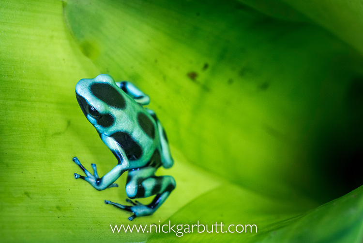 Green-and-Black Poison Dart Frog (Dendrobates aurantus) inside bromiliad. Boca Tapada, Caribbean slope, Costa Rica, Central America.