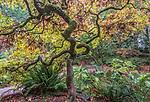 WA, Seattle, Arboretum, Japanese Maple