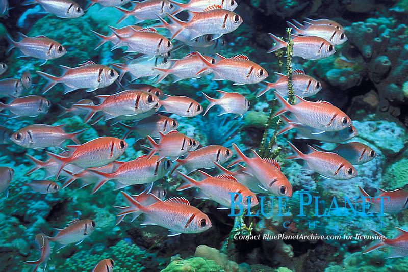 blackbar soldierfish, Myripristis jacobus, The Steps, St. Vincent, Saint Vincent & the Grenadines (Eastern Caribbean Sea)