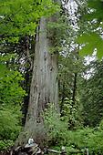 Giant Redwood Majesty