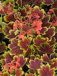 Geranium 'Vancouver Centennial', Pelargonium 'Vancouver Centennial'