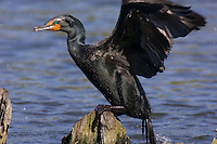 Double-crested Cormorant (Phalacrocorax auritus) in spring breeding plumage jumping out of water onto perch.  Pacific Northwest.