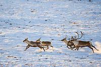 Barren ground caribou run along the Arctic Coastal Plains, Arctic Alaska.