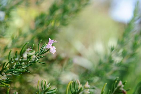 Rosemary 'Majorca Pink'