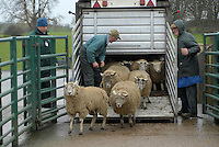 Inspecting tags at Kirkby Stephen Mart. ..Unloading sheep.