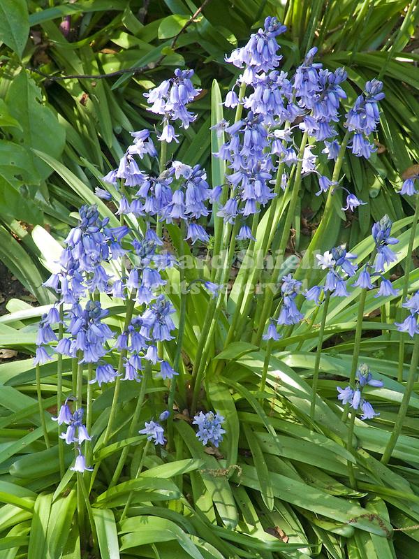 Wood Hyacinth, Scilla campanulata