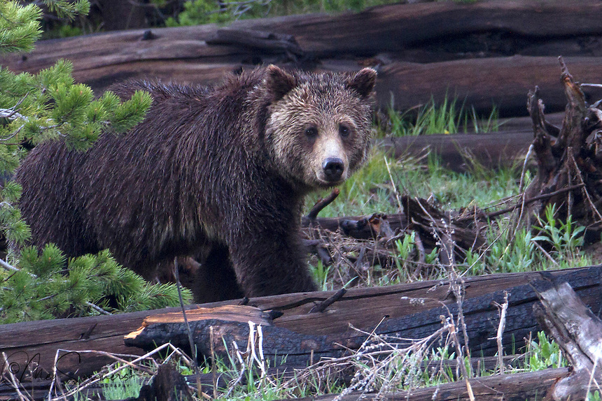 The Grizzly bear (Ursus arctos horribilis) has several relationships with its ecosystem. One such relationship is a mutualistic relationship with fleshy-fruit bearing plants. After the grizzly consumes the fruit, the seeds are dispersed and excreted in a germinable condition. Some studies have shown germination success is indeed increased as a result of seeds being deposited along with nutrients in feces. This makes grizzly bears important seed distributors in their habitats.<br /> While foraging for tree roots, plant bulbs, or ground squirrels, bears stir up the soil. This process not only helps grizzlies access their food, but also increases species richness in alpine ecosystems. An area that contains both bear digs and undisturbed land has greater plant diversity than an area that contains just undisturbed land. Along with increasing species richness, soil disturbance causes nitrogen to be dug up from lower soil layers, and makes nitrogen more readily available in the environment. An area that has been dug by the grizzly bear has significantly more nitrogen than an undisturbed area.
