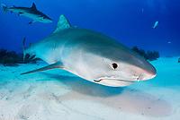 tiger shark, Galeocerdo cuvier, with fishing hook, Bahamas, Caribbean Sea, Atlantic Ocean
