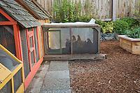 Chickens in back yard garden cages; Jennifer Carlson garden