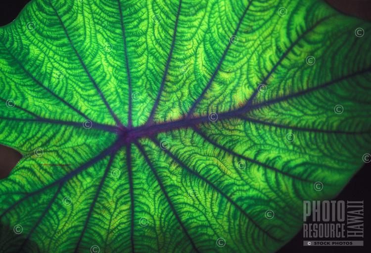 Close up of leaf of taro or kalo plant