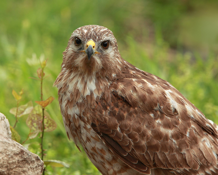 Red-tailed Hawk closeup in spring.