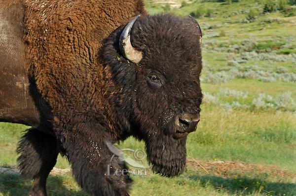American Bison (Bison bison) bull.  Northern Great Plains, summer.