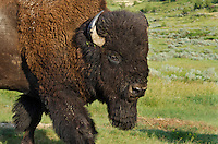 American Bison (Bison bison) bull.  Northern Great Plains, summer.