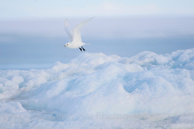 Adult Ivory Gull (Pagophila eburnea) in flight. This arctic dependent species appears to be declining rapidly due to climate change. Resolute, Nunavut, Canada. June.