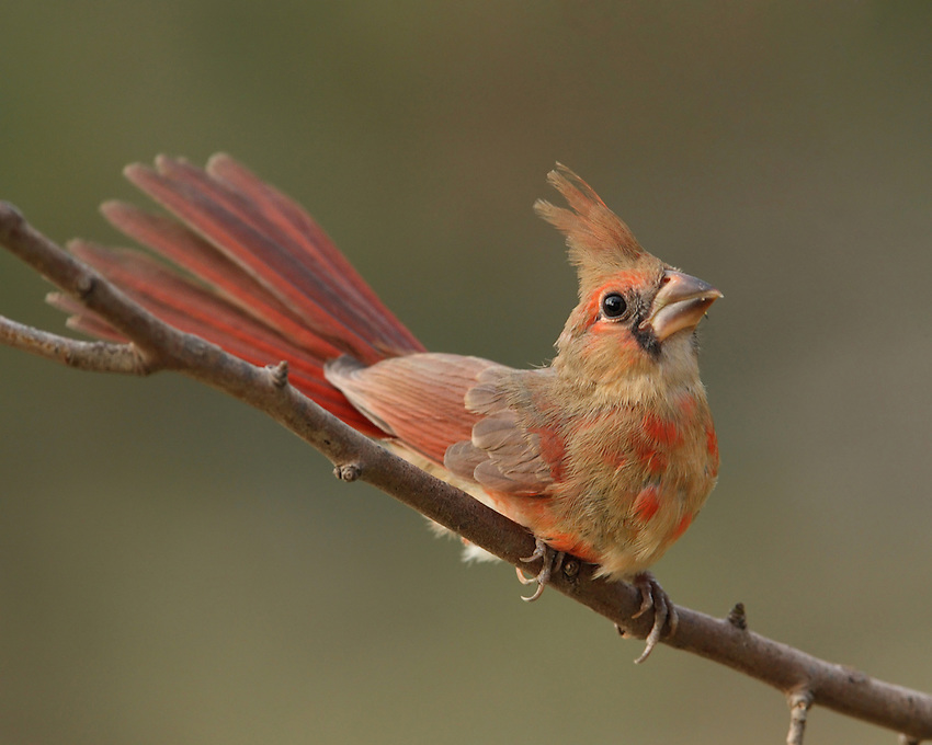 Juvenile male Cardinal,coming of age.