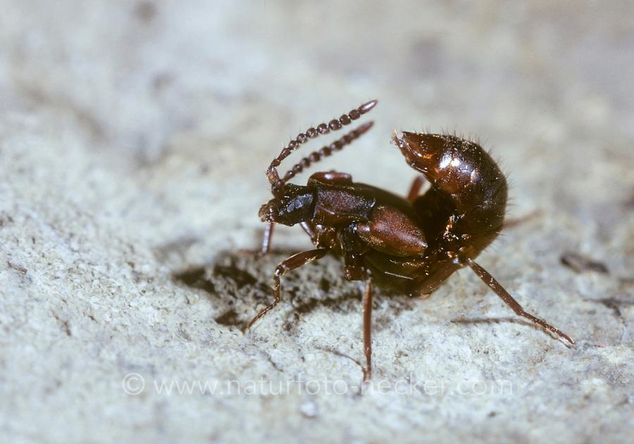 Ameisen-Kurzflügler, Ameisenkurzflügler, Lomechusa spec., Atemeles spec.
