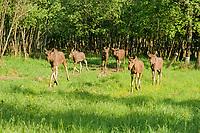 Eurasian elks, Alces alces, yearlings in an enclosure at the Sumarkova Eurasian elk farm. Kostroma, Russia, Arctic