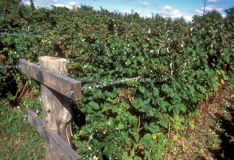 Raspberries fruit bushes growing on farm garden, trained between wire trellis staking