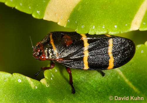 0623-1101  Adult Two-lined Spittlebug, Prosapia bicincta  © David Kuhn/Dwight Kuhn Photography