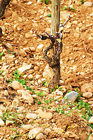 Les Greffeux vineyard in Hermitage with a vine that has been winter pruned and 'painted' with white disinfectant paint on the cuts to avoid infections and maladies. The typical soil mixture of sand and stones. Tain l'Hermitage, Drome, Drôme, France, Europe