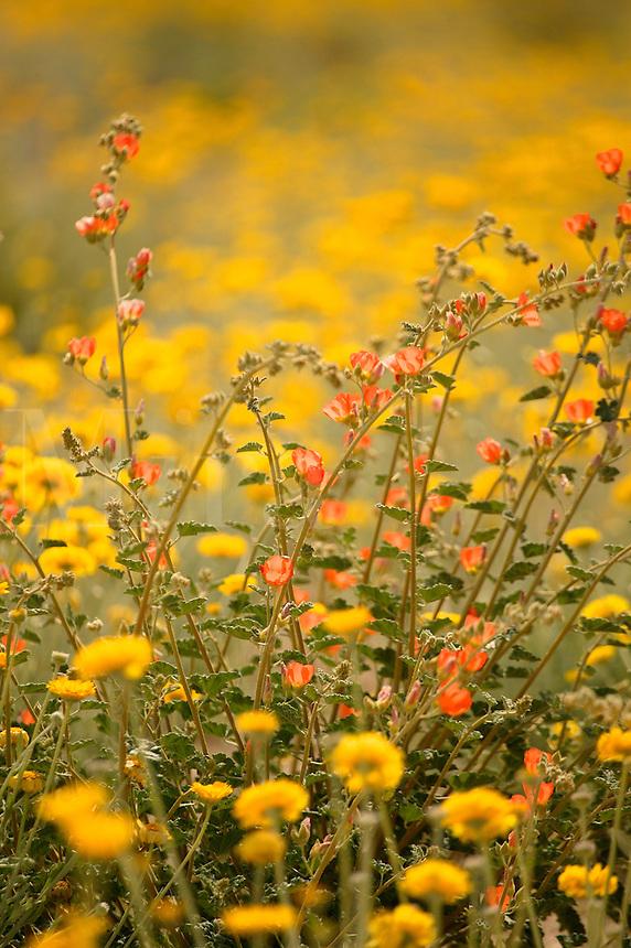 Desert Globemallow or Apricot Globe Mallow (Sphaeralcea ambigua)wildflowers near Alamo Lake State Park, Arizona