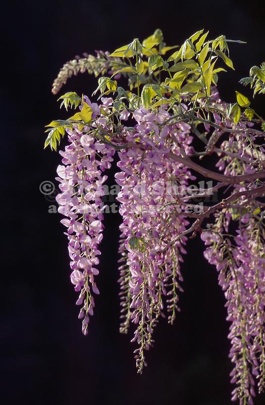 10151-CM Wisteria in flower, Wisteria floribunda `Macrobotrys', at Huntington Gardens in San Marino, CA