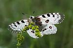 Apollo butterfly (Parnassius apollo). Nordtirol, Austrian Alps, Austria, July.