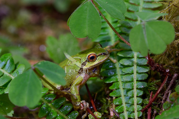 Pacific tree frog (Pseudacris regilla), also known as the Pacific chorus frog among Oregon oxalis and ferns.  Pacific Northwest, Summer.