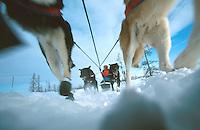 C Knott Mushes on Trail near Iditarod 99 Iditarod AK