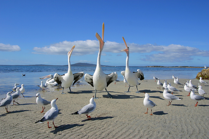 Babe Big Boy and Mr Percival sing! Three Australian pelicans with seagulls gathered around