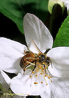 1B01-044b  Honeybee on apple blossom - Apis mellifera