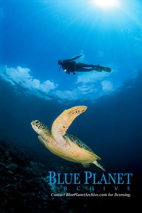 Green Sea Turtle, Chelonia mydas, and Diver, Pulau Sipadan, Sabah, Malaysia, Sulawesi sea