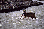 Gray Wolf carrying away a sheep's leg in Denali National Park.