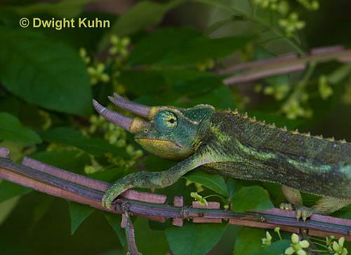 CH36-541z  Male Jackson's Chameleon or Three-horned Chameleon, Chamaeleo jacksonii