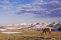 Elk, Wapiti, Cervus elaphus,bull in velvet grazing on alpine tundra,Rocky Mountain National Park, Colorado, USA