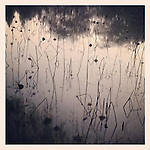 lotus by instagram