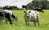 Holstein dairy cows grazing, Chipping, Preston, Lancashire.