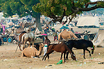Camels and horses as livestock at the Pushkar Fair, India. Neem tree
