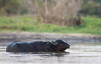 Water buffaloes, a foreign species originally introduced to the Pantanal as livestock, are probably the most dangerous animals in the region.